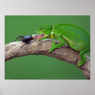 Flap-Necked Chameleon Poster