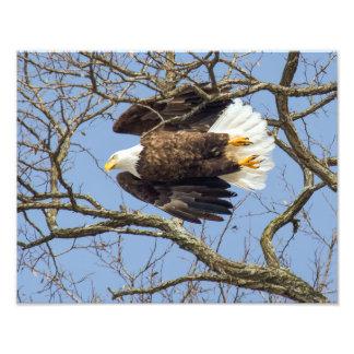 Flash de Eagle calvo Fotografía