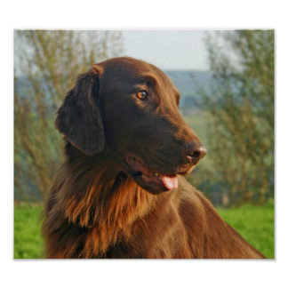 Flat Coated Retriever dog beautiful poster, print
