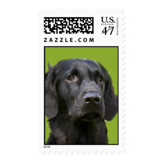 Flat Coated Retriever dog black beautiful photo Postage