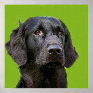 Flat Coated Retriever dog, black beautiful photo Poster