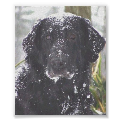 Flat-Coated Retriever Posters
