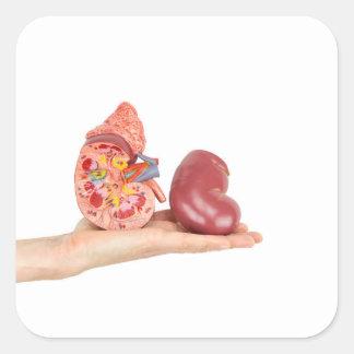 Flat hand showing model human kidney square sticker