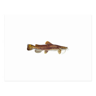 Flathead Catfish Postcard