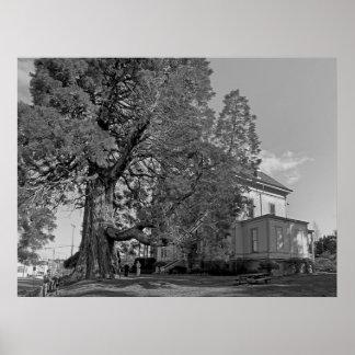 Flavel House Sequoia Tree - Astoria Oregon Print