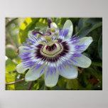 Flavicarpa edulis del forma de la pasionaria (flor posters