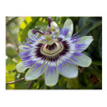 Flavicarpa edulis del forma de la pasionaria (flor tarjetas postales