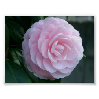 Flawless Camellia - Poster Print