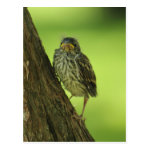 Fledging Chipping Sparrow Postcard