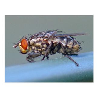 Flesh Fly Postcard. Postcard