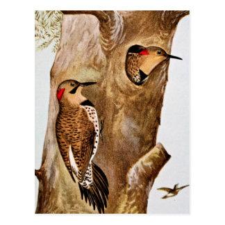 Flicker Birds Vintage Picture Postcard