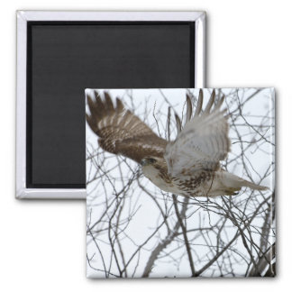 Flight of the Red-Tailed Hawk 2 Inch Square Magnet