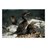 Flightless Cormorant, Mated Pair At Nest Print