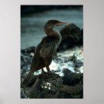 Flightless Cormorant Posters