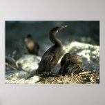 Flightless Cormorants-mated pair at nest Posters