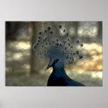 Flightless pigeon, Papua New Guinea Poster