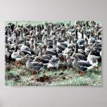 Flightless White-fronted Geese in Pen Print