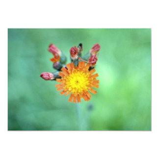 Flo anaranjado del Hawkweed anaranjado (Hieracium Invitación Personalizada