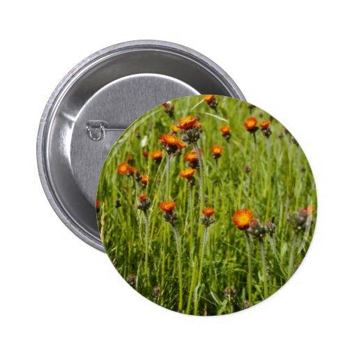 Flo anaranjado del Hawkweed anaranjado (Hieracium  Pin Redondo 5 Cm