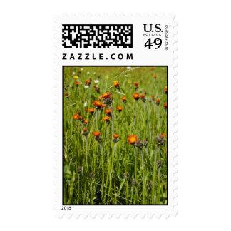 Flo anaranjado del Hawkweed anaranjado (Hieracium Franqueo