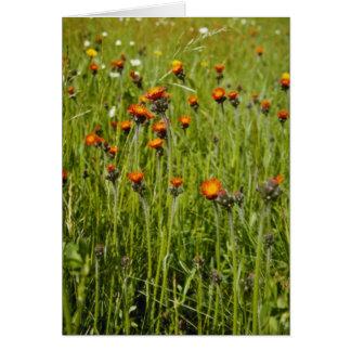 Flo anaranjado del Hawkweed anaranjado (Hieracium  Felicitaciones
