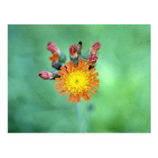 Flo anaranjado del Hawkweed anaranjado (Hieracium  Tarjeta Postal