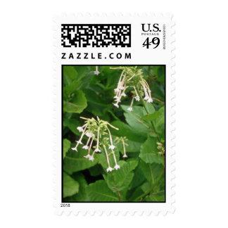 flo blanco del tabaco floreciente (nicociana sellos