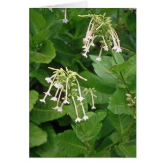 flo blanco del tabaco floreciente (nicociana Sylve Tarjetón