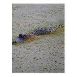 Floating Alligator Postcard