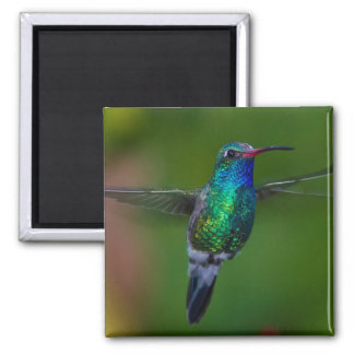 Floating Hummingbird 2 Inch Square Magnet