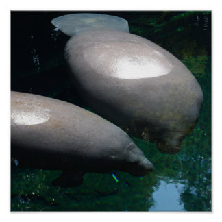 Floating Manatees Poster