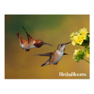 Floating Rufous Hummingbird Postcard