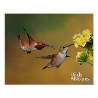 Floating Rufous Hummingbird Poster