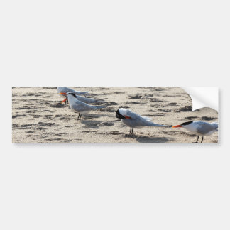 Flock of Caspian Tern Birds Bumper Sticker