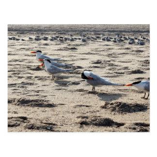 Flock of Caspian Tern Birds Postcard