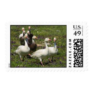Flock of Ducks Postage