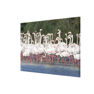 Flock of flamingos wading , France Canvas Print