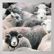 Flock Of Herdwicks Poster