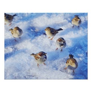 Flock of House Sparrows 'Passer domesticus' on Poster