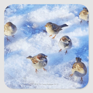 Flock of House Sparrows 'Passer domesticus' on Square Sticker