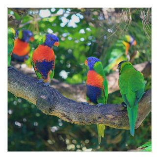 Flock of Rainbow lorikeets on a branch of a Tree Poster