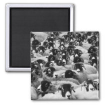 Flock of Sheep Black and White Magnet
