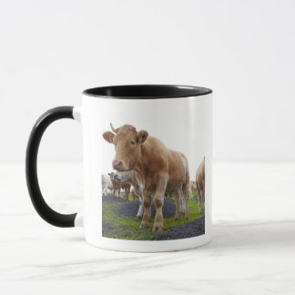 Flock of young white cows in Scottish field Mug