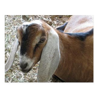 Floppy-Eared Goat Postcard