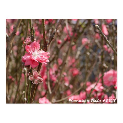 Flor 1 del melocotón tarjeta postal