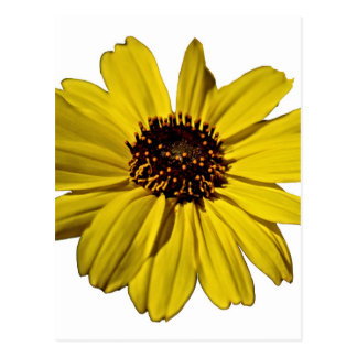 Flor amarilla brillante, margarita tarjeta postal