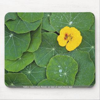 Flor amarilla de la capuchina en la cama del leav  mousepads