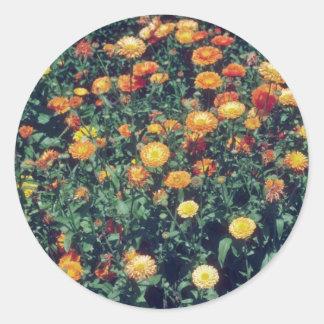 flor amarilla de la maravilla de pote (Calendula Pegatina Redonda