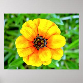 Flor amarilla de la maravilla posters