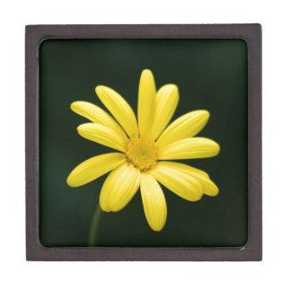 Flor amarilla de la margarita cajas de recuerdo de calidad